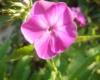 Розовый красавчик