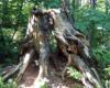 Дерево друидов?
